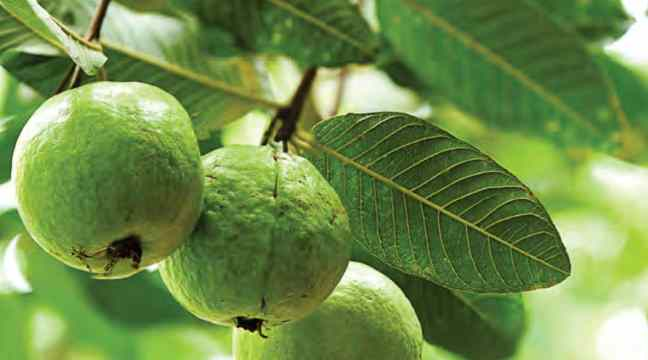 From heart to stomach, guava and its leaves are very beneficial, adopt these home remedies/WorldCreativities