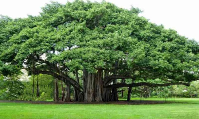 Peepal-banyan crop is effective in relieving epileptic problems, just consume this way/WorldCreativities