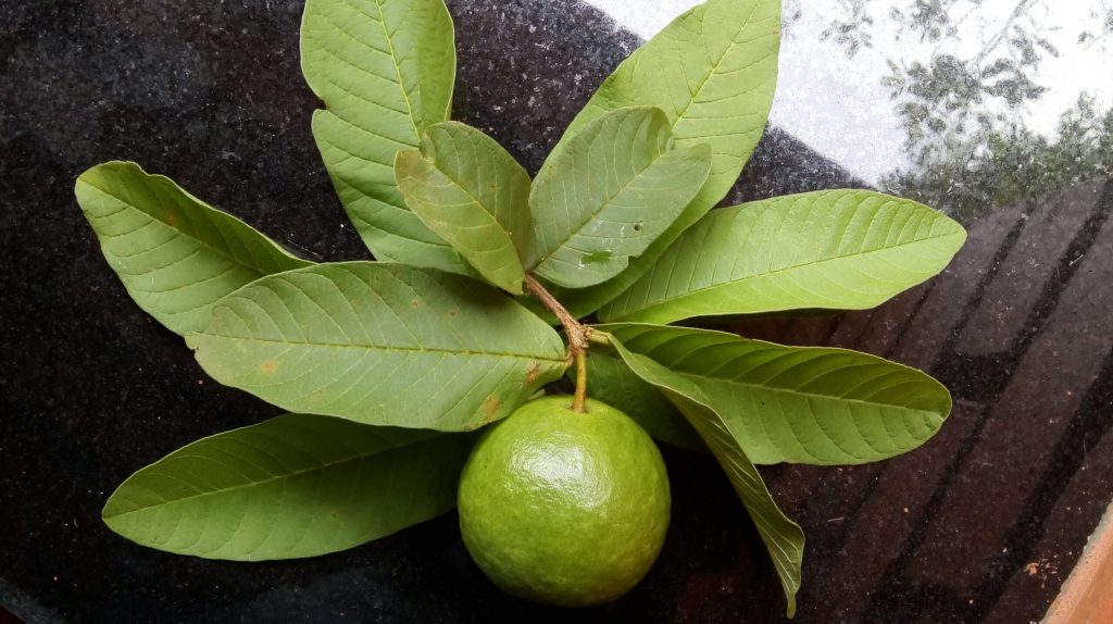Guava is a very beneficial fruit for health