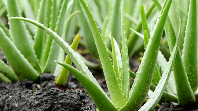 Apart from hair and skin, aloe vera benefits the body