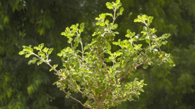 world creativities Tulsi plant removes imperfections of Shani-Mars; Keep these things in mind while planting at home