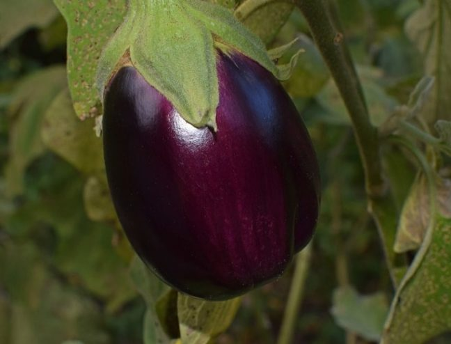 world creativities Benefits of brinjal, very useful and medicinal, which has many properties, do this remedy which is very useful