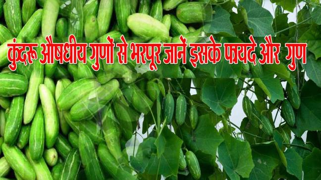 world creativities Kundru benefits in skin diseases and leprosy and also it has many benefits.