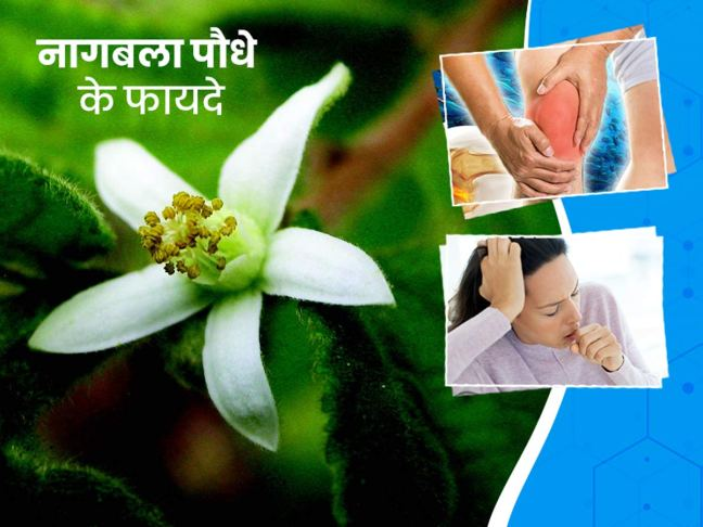 world creativities Benefits, benefits and best home remedies of Nagpal