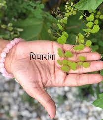 world creativities Best remedies and benefits of Piaranga which is full of medicinal properties