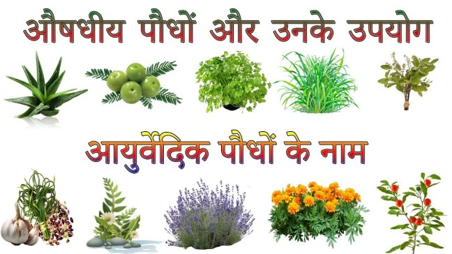 """have many medicinal and spiritual uses. Culinary herbs and medicinal herbs differ on the general use of """"herb"""". Let us go through some herbs in detail"""