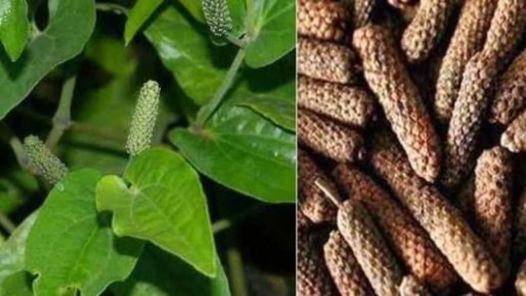 www.worldcreativities.com Advantages, disadvantages and medicinal properties of Pippali