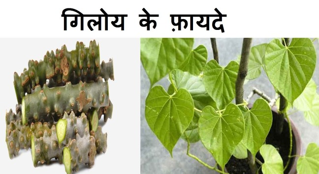 Giloy is one cure for 10 diseases