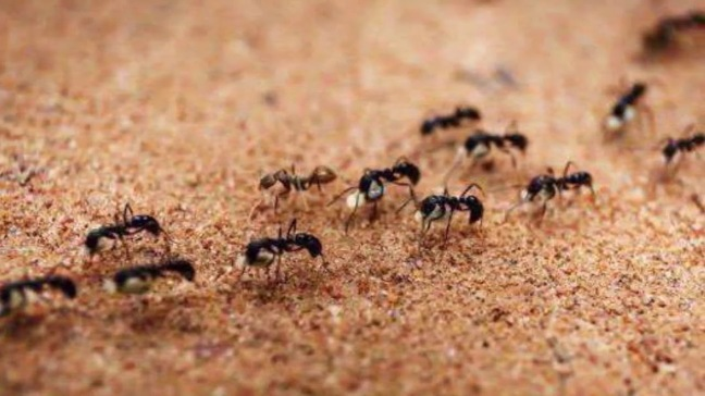 If ants are coming out in the house, then know the auspicious and inauspicious signs